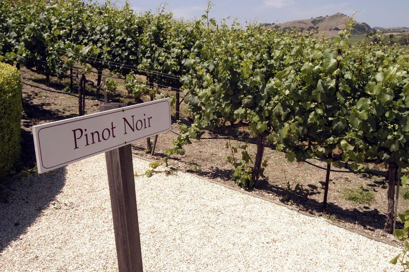 Pinot-Noir-skilt-i-vinmark-iStock-000001466021-Medium-1800x1200-red